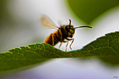 waspart2 (gshaun12) Tags: wasp wildlife macro macrodreams flying leaf nature fantasticnature takeoff upclose bokeh animals art