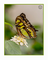 Butterfly (Richard Leah Photography) Tags: butterfly butterflies insects nature wildlife closeup macro nikond800 sigma105mm