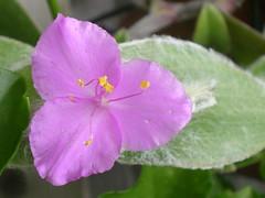 Setcreasea purpurea (~Ingeborg~) Tags: meinge flower purple paars roze setcreaseapurpurea bloem hairyleaves harigebladeren variatie variation softasvelvet crete greece macro silky green holidays vakantie aureliozen kenjijdeplant depaarsegriek