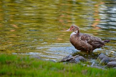Brown Muscovy Bathing (I'magrandma) Tags: duck muscovy imagrandma brown bathing explore