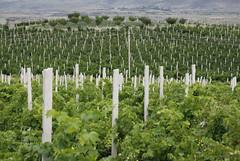 ArmAs Estate (dese) Tags:  armasestate armas aragatsotnprovince aragatsotn mndag monday vineyard vingard armenia vin july18 2016 july sommar weinberg via vigneto vinograd