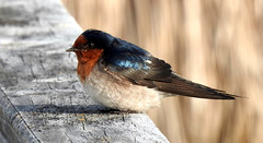 Welcome Swallow (njohn209) Tags: birds nikon p900 nz