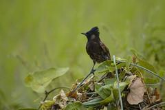 124 (Nur Photography) Tags: birds bulbul