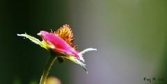 The garden strawberry plant (Michelsen Photography) Tags: strawberry fragariaananassa fragaria jordbær jordgubba gartenerdbeere vivid red nikon macro closeup andromeda50