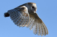 Barn owl (davy ren2) Tags: