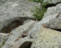 Pika in the Scree at Cathedral (Michael Garson) Tags: cathedralprovincialpark provincialpark cathedralcorearea canada bc britishcolumbia mountain nature hiking hike backpacking