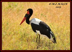SADDLEBILL (Ephippiorhynchus senegalensis)......MASAI MARA......SEPT 2015 (M Z Malik) Tags: nikon d3x 200400mm14afs kenya africa safari wildlife masaimara kws exoticafricanwildlife exoticafricanbirds