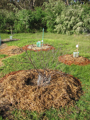 Fruit Trees Ready for Spring  Red Moon Sanctuary, Redmond, Western Australia (Red Moon Sanctuary) Tags: redmond westernaustralia australia au farm garden fruit tree compost 6327 greatsouthern wa redmoonsanctuary
