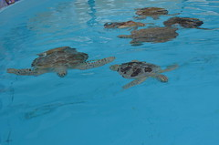The Turtle Hospital (Neal D) Tags: florida floridakeys turtlehospital seaturtle turtle