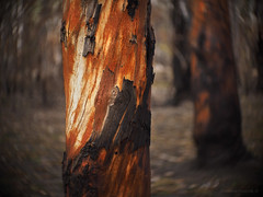 Scorched trunks_c (gnarlydog) Tags: fire kodakanastigmat63mmf27 swirly bokeh trees bark colorful orange australia bushfire scorched detail closeup nature flora queensland adaptedlens cinelens ion