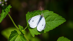 cabbage white (Black Hound) Tags: butterfly bug insect cabbagewhite newlingristmill sony a500 minolta
