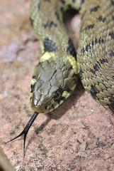Grass snake , Natrix natrix (5)_filtered (Geckoo76) Tags: grasssnake snake natrixnatrix