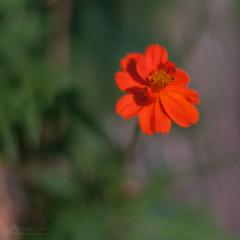 _DSC0181-Modifier.jpg (xpressx) Tags: bokeh 50mm nikon flowers passionphotonikon fleurs nd4 18 parc photographe lightroom nikond5000 nd8 nikkor flore d5000
