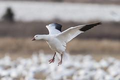 Snow Goose (nikunj.m.patel) Tags: snowgoose migration waterfowl wildlife pa middlecreek nature photography nikon geese bif birdinflight