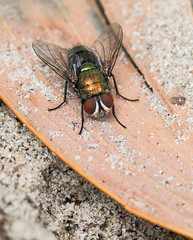 fly (kimbenson45) Tags: australia beach brown closeup color colorful colors colour colourful colours compoundeye differentialfocus eyes fly green hairs hairy insect macro nature outdoors red sand shallowdepthoffield wildlife wings yellow