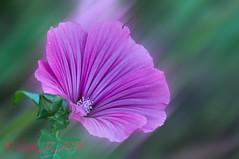 _DSC0318 (Guy_D_2010) Tags:  lule blumen     flower  cvijet blomst flor lill kukka blodyn   virg bunga blth blm fiore zieds gl  voninkazo fjura  bloem  gul  kwiat floare kvetina cvet blomma kvtina  iek  hoa   d90 nikon nikonfrance nikoniste pink quintaflower languageofflowers doublefantasy bokeh naturemasterclass artonflickr flowersmacroworld gers lesjardinsdecoursiana coursiana
