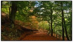 Sot del Serrat Vaquer, Viladrau (Jess Cano Snchez) Tags: elsenyordelsbertins canon ixus310hs catalunya catalua catalonia espanya espaa spain gironaprovincia osona viladrau montseny parc parque park natural faig haya beech fagus