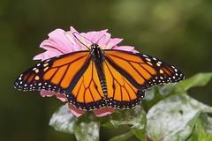 Monarch, male (Danaus plexippus) (AllHarts) Tags: malemonarchdanausplexippus dixongardens memphistn butterflygallery naturescarousel
