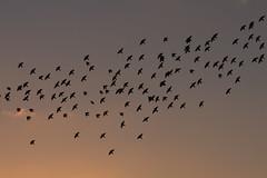 Starlings (Sculptor Lil) Tags: birds canon700d dslrsingleexposure london clouds dusk murmuration sky starlings sunset weather