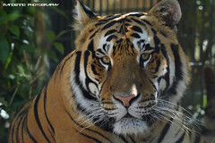 Bengal tiger Dharan  - Zoo Amneville (Mandenno photography) Tags: dierenpark dierentuin dieren duitsland animal animals tiger tijger tigers zoo amneville france frankrijk belgie bigcat big cat