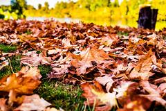 Crispy (Culinary Fool) Tags: autumn usa 23mm willametteriver water 2016 fall september trees maple oregon brendajpederson leaves harrisburg pacificnorthwest culinaryfool dof pnw