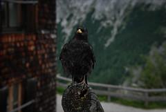 I shall then now commence my speech... (Niara Art) Tags: animal bird alp crow chough eye portrait colour nature expression austria jenner mountain nikon d80 summer
