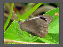 Butterflies-New Caledonia (Douglas Dew butterflies) Tags: caper gull cepora perimale