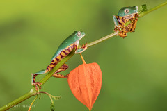 I'm Coming up! (Linda Martin Photography) Tags: phyllomedusatomopterna dorset chineselantern supertigerleggedwaxymonkeyfrog wildlife frogworkshop uk nature coth ngc coth5 npc