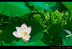 Lotus-Flower (Olivieri Cinematografia Digital) Tags: allshots amazing awesome bestoftheday colorful contrast creative digital exposure feelgoodphoto focus foto holidays ishootraw life masterpiece moment nice nikon oliviericinematografiadigital outdoorphotography photographylovers photographysouls photooftheday rodrigo rodrigoolivieri sweet traveladdict travellife travelphoto travelphotography traveltheworld aroundtheworld shooting olivieri china macau lotus lotusflower flower