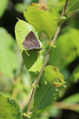 Purple Hairstreak Basking (raggi di sole) Tags: england alnersgorse nature purplehairstreak butterfly insect lepidoptera lycaenidae neozephyrusquercus grey dark purple basking beautiful elusive leaf green
