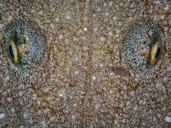 P9141453 (Jeannot Kuenzel) Tags: jeannotkuenzel jeannot kuenzel wwwjk4unet jk4u malta scuba under water underwater diving photography macro supermacro olympus epl5 zen port leica dg macroelmarit 45mm f28 asph ois inon z240 240z ucl165 s2000 moods aliensofthesea aliensofthedeepblue alien deep blue mediterranean sea maltaunderwater maltaunderwatermacro maltaunderwaterphotography bestmaltaunderwaterpictures maltamacro underwaterphotography maltascubadiving supermacrophotography underwatersupermacro underwateralien underwaterworld underwatercreature underwatermacro extrememacro superextrememacro