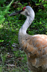 The Old Bird (River Wanderer) Tags: sandhillcranes kensingtonmetropark nikon d5000 55300