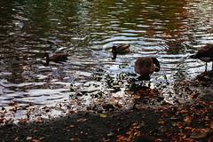 Autumn on the Lake (stingx) Tags: dscrx100 sony autumn fowl lake leaves color