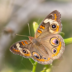 Common Buckeye Butterfly (tresed47) Tags: 2016 201609sep 20160913bombayhookmisc bombayhook buckeye butterflies canon7d content delaware folder insects peterscamera petersphotos places takenby us specanimal ngc