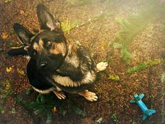 The Poser (Michael Swaja Photography) Tags: gsd german shepherd dog pet animal fur baby woof light color cute oregon lover nikon d5100
