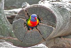 Rainbow Lorikeet (orlanangel) Tags: rainbowlorikeet melbourne australia rainbow lorikeet bird oceania island nature outdoor queensland rainforest aves animal wildlife parrot ao ar livre