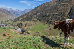 Can I join you guys? (foto99) Tags: furka alone alps cow furkapass group switzerland valley