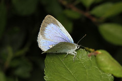 Celastrina argiolus  (Holly Blue) - Guernsey (Nick Dean1) Tags: celastrinaargiolus hollyblue lepidoptera lycaenidae lycaeninae blue insect insecta animalia arthropoda arthropod hexapoda hexapod guernsey channelislands greatbritain