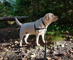 Gracie in morning light (walneylad) Tags: gracie dog canine pet puppy lab labrador labradorretriever cute september fall autumn northvancouver britishcolumbia canada