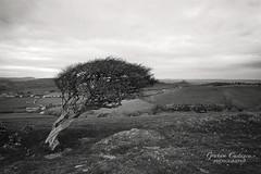 Dorset (gracust) Tags: dorset bridport countryside rural colmershill blackandwhite mono lonetree serene tranquil jurassic landscape