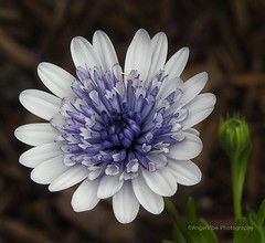 Purple and white African Daisy (AngelVibePhotography) Tags: purple blossoms blossom garden nature daisies africandaisy nikon photography flowers depthoffield daisy flower macro outdoor nikonp900