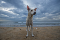 At Marina (Ravikanth K) Tags: 500px dog pet domestic animal portrait portraiture marina beach chennai sand water sea morning cloudy outdoor blue clouds wide waves calm