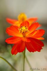Orange Cosmos #2 (Galib Emon) Tags: orange cosmos flower plant petal outdoor bright depthoffield cosmossulphureus beautiful colour natural portrait flickr canon eos 7d efs18135mm f3556 is bokeh chittagong bangladesh spring daylight copyright galib emon