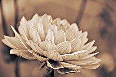 (Arnzazu Vel) Tags: flower flor fiore sepia vintage retro nature naturaleza