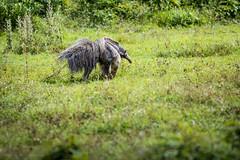 anteater (Diego J. Lizcano) Tags: meta colombia taxonomy:binomial=myrmecophagatridactyla