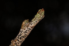. (alejandro krok) Tags: stick tree green gray macro macrofotografia fotografia life vida tierra palo arbol chile argentina brasil colombia sudamerica sur digital nature