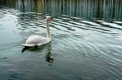 swan (welenna) Tags: aare wasserspiegel water wasser switzerland swiss swan schwan river fluss bird vogel