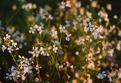 Southern spring. (Hijo de la Tierra.) Tags: 35mm analog analogue film grain vintage old spring sunset flowers nature uruguay countryside white green bokeh slowlife minimal
