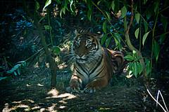 Sumatran Tigers 0033 (ros.wood) Tags: animals wildanimals sumatrantiger zooanimals nikon 18200nikonvriilens nikon1v3 v3 ft1 london