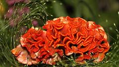 Celosia Flower (abrideu) Tags: abrideu canoneos100d flower depthoffield bokeh bright orange indoor celosia plant macro ngc npc